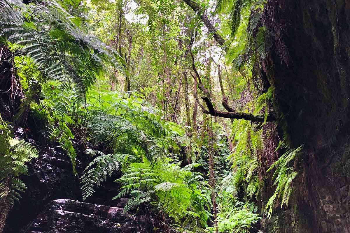 Los Tilos bosque de laurisilva en La Palma