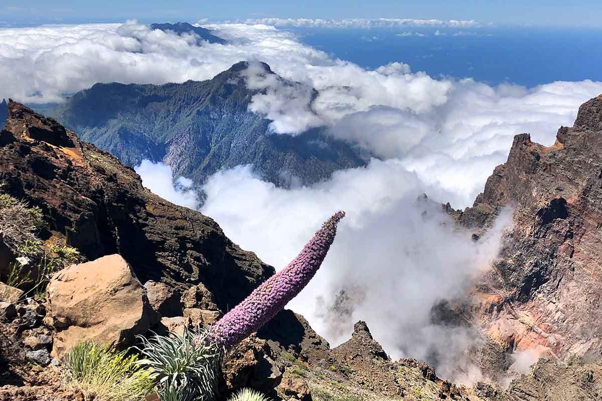 Tajinastes Ecchium wildprettii en el Roque de los Muchachos La Palma