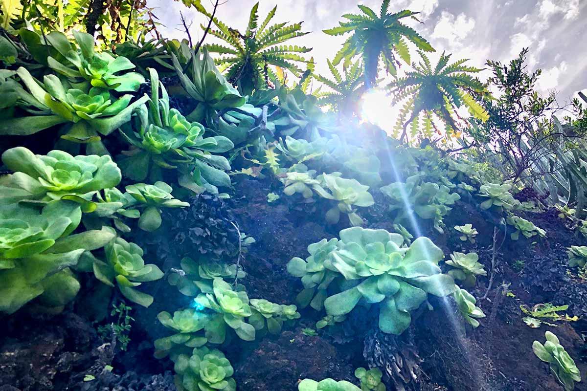 Bejeques plantas autoctonas de La Palma