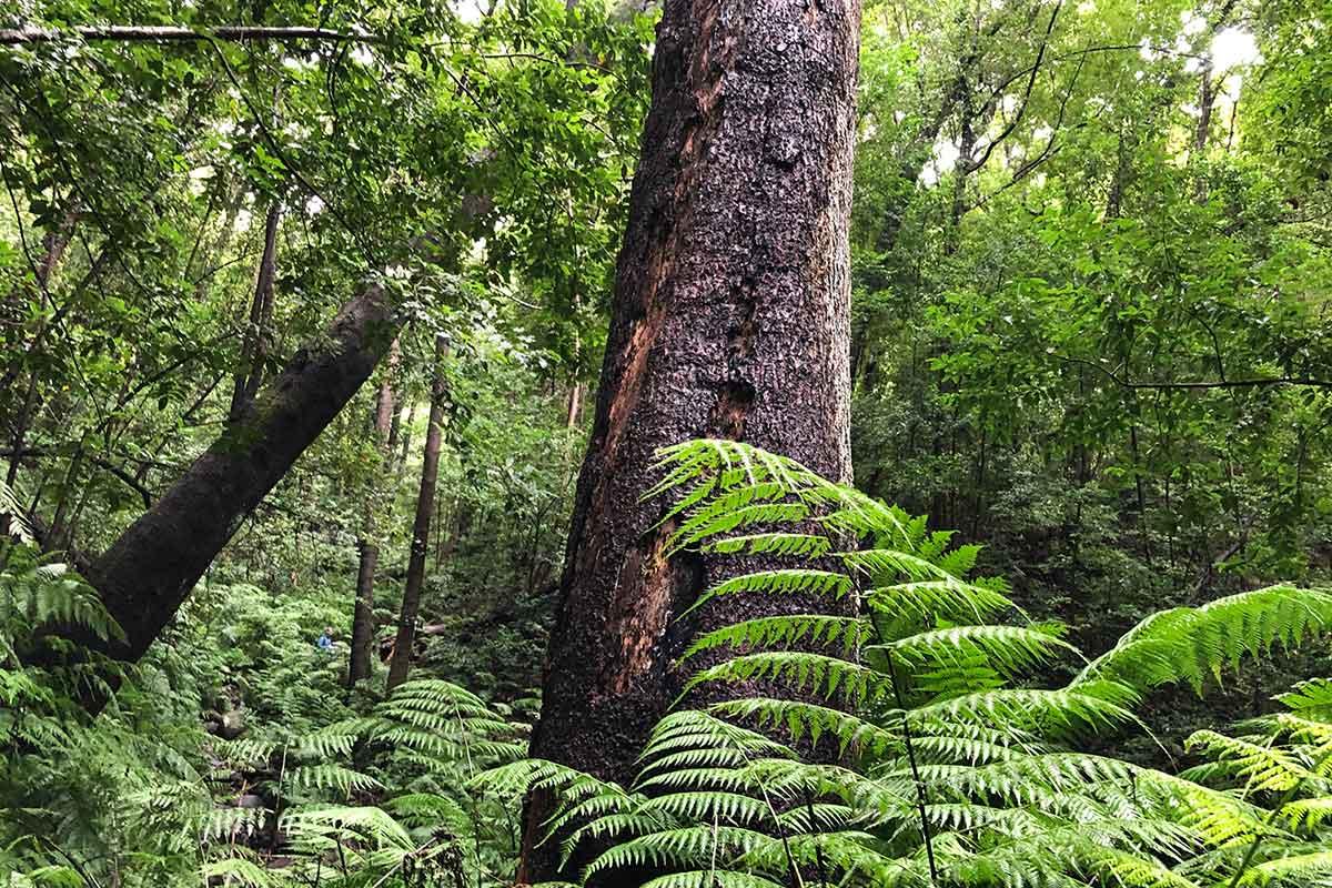 Bosque de laurisilva en Los Tilos La Palma Islas Canarias